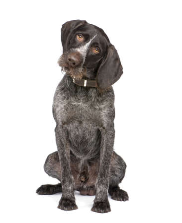 pointer dog: German Shorthaired Pointer (4 years) in front of a white background Stock Photo