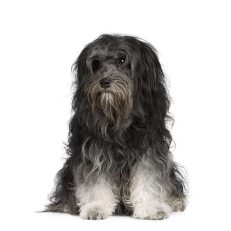 unkempt: Löwchen (7 years) in front of a white background Stock Photo