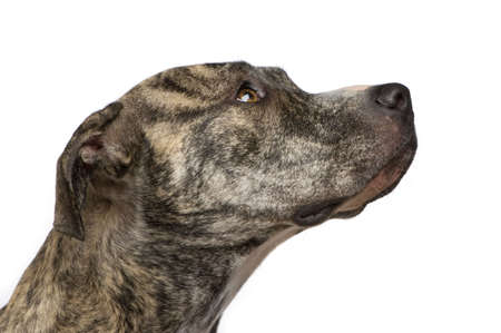 gardian: American Staffordshire terrier (18 months) in front of a white background Stock Photo
