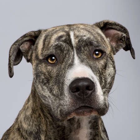 American Staffordshire terrier (18 months) in front of a white background photo