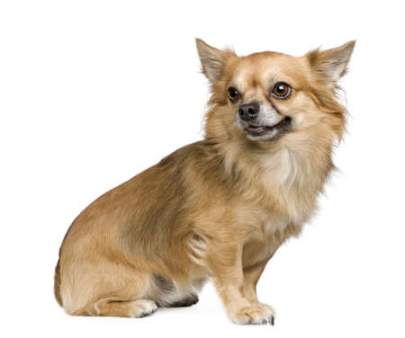 long haired chihuahua: long haired chihuahua (3 years) in front of a white background