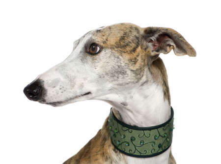 Galgo Espanol (4 years) in front of a white background Stock Photo - 3672648