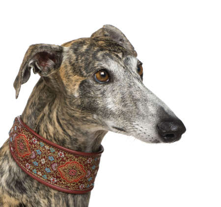 Galgo Espanol (4 years) in front of a white background photo