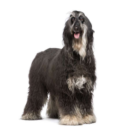 afghan: Afghan Hound (7 years) in front of a white background