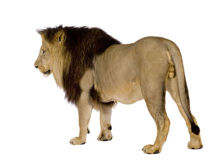 furry animals: Lion (4 and a half years) - Panthera leo in front of a white background Stock Photo