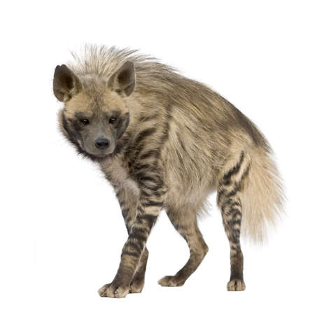 scavenger: Striped Hyena in front of a white background Stock Photo