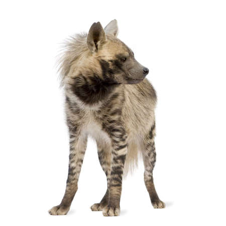 Striped Hyena in front of a white background photo
