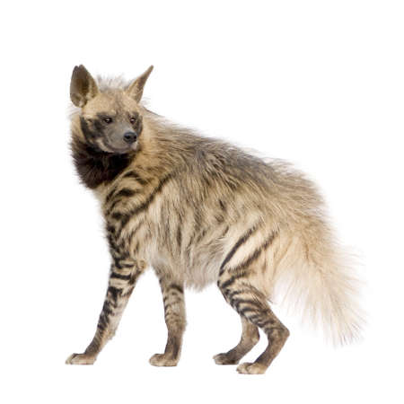 Striped Hyena in front of a white background Stock Photo - 3768134
