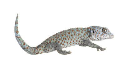 tokay gecko: Tokay gecko - Gekko gecko in front of a white background