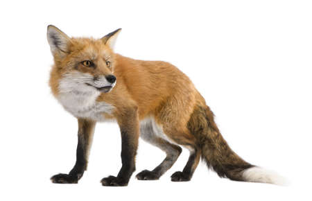 fox: Red fox (4 years) - Vulpes vulpes in front of a white background Stock Photo