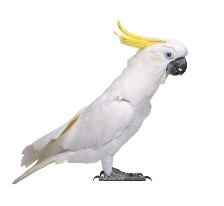 Sulphur-crested Cockatoo (22 years) - Cacatua galerita in front of a white background photo