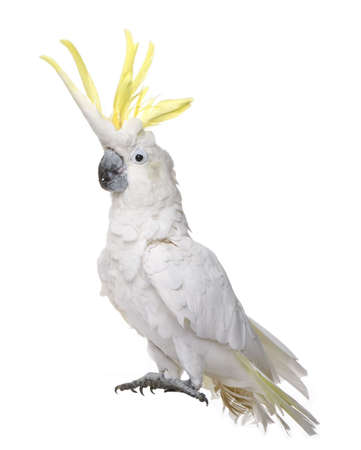exoticism: Sulphur-crested Cockatoo (22 years) - Cacatua galerita in front of a white background