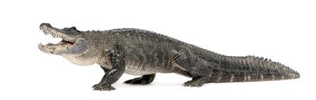cocodrilos: American Alligator (30 a�os) - Alligator mississippiensis delante de un fondo blanco Foto de archivo