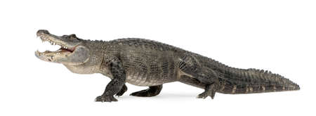 jawbone: American Alligator (30 years) - Alligator mississippiensis in front of a white background