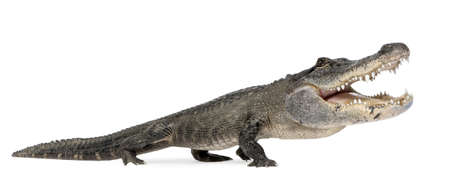 jawbone: funny  American Alligator in front of a white background Stock Photo
