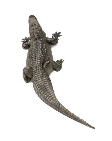 aquatic reptile: American Alligator (30 years) - Alligator mississippiensis in front of a white background