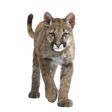 puma cat: Puma cub - Puma concolor (3,5 months) in front of a white background