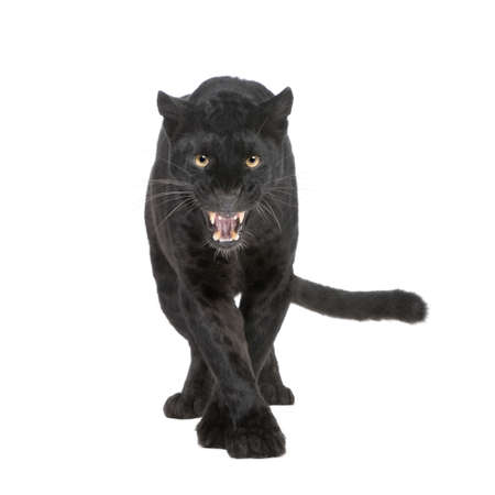 jaguar: Black Leopard (6 jaar) voor een witte achtergrond