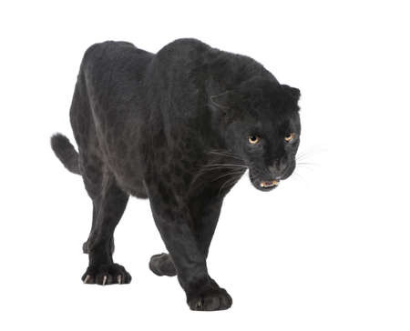 the panther: Black Leopard (6 years) in front of a white background