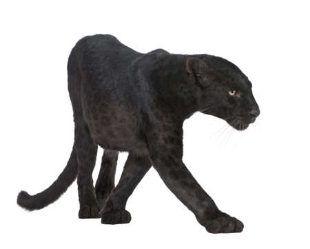 black jaguar: Black Leopard (6 years) in front of a white background