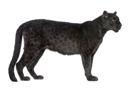 jaguar: Zwarte Il Gattopardo (6 jaar) ten overstaan van een witte achtergrond