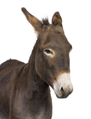 dun: donkey ( 4 years) in front of a white background