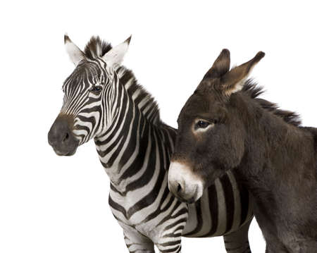 a Zebra (4 years) and a donkey (4 years) in front of a white background photo