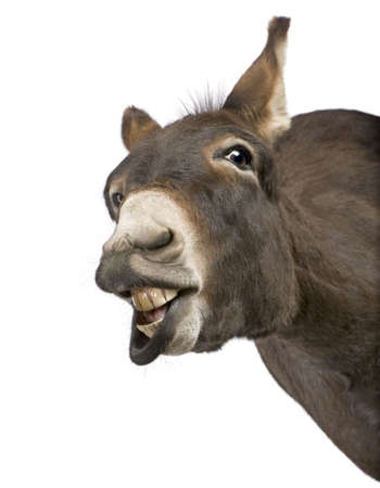 cow teeth: donkey ( 4 years) in front of a white background