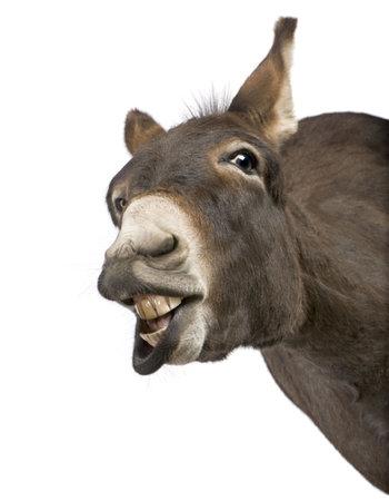 donkey: ezel (4 jaar) voor een witte achtergrond