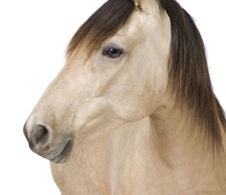 Horse in front of a white background Stock Photo