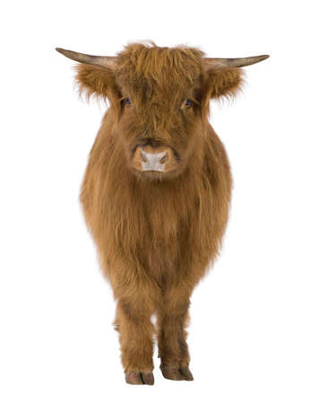 young cow: young Highland Cow in front of a white background