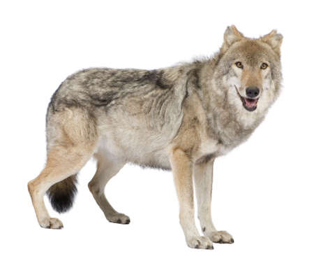 old European wolf - Canis lupus lupus in front of a white background photo