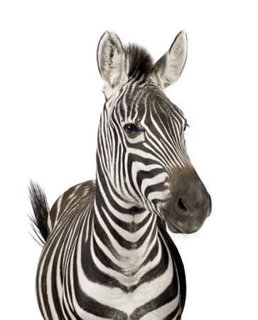 starring: Front view of a Zebra in front of a white background Stock Photo