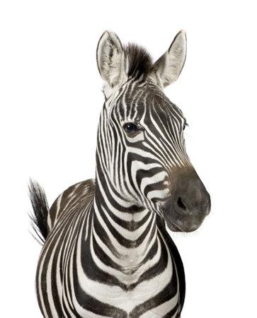cebra: Vista frontal de una cebra delante de un fondo blanco