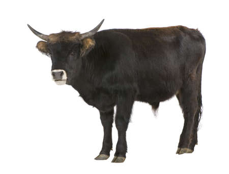 Heck Cattle, also called reconstructed aurochs or auroxen in front of a white background