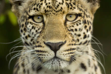 leopard head: Leopard in the serengeti national reserve Stock Photo