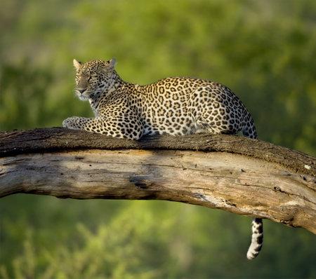 Leopard in der Serengeti National Reserve Standard-Bild