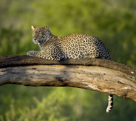 tanzania: Leopard in the serengeti national reserve Stock Photo