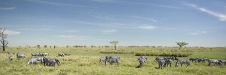 herd of zebra in the Serengeti photo