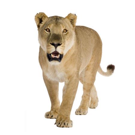 panthera leo: Leona (8 a�os) - Panthera leo delante de un fondo blanco