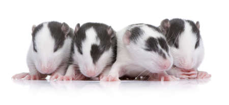 newborn rat: babby Rat in front of a white background