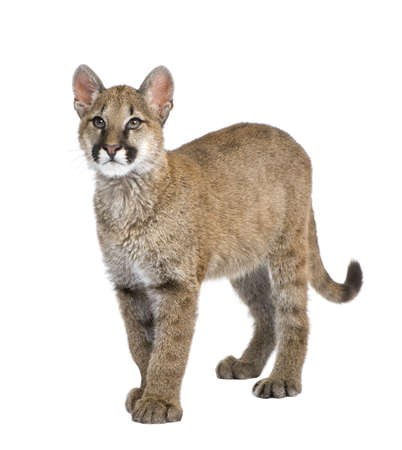 cougar: Puma cub - Puma concolor (3,5 months) in front of a white background