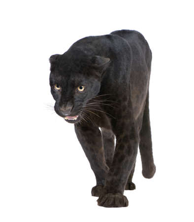 Black Leopard (6 years) in front of a white background