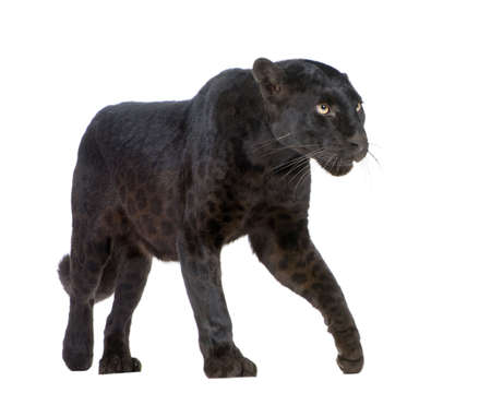 6 years: Black Leopard (6 years) in front of a white background