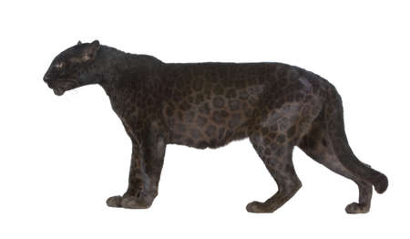 panthera pardus: Black Leopard (6 years) in front of a white background