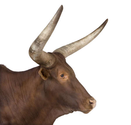 hoofed: Ankole-Watusi in front of a white background