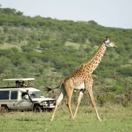 girafe: Girafe in the Serengeti passing in front of tourist