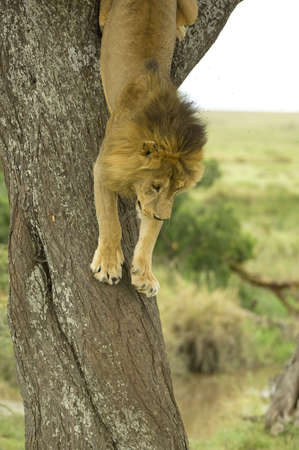 going down: Lion going down a tree Stock Photo