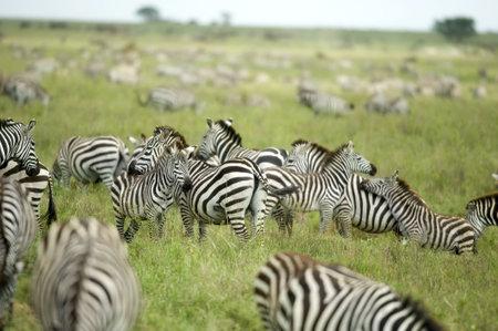 herd of zebras in the serengeti plain photo