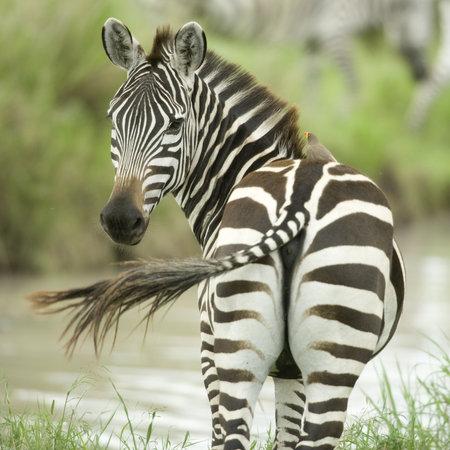 backview: Zebra Stock Photo